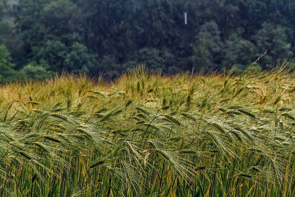 Photo in Nature #nature #landscape #culture landscape #corn #rain #rainy