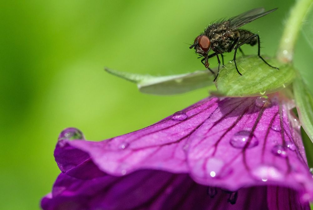 Photo in Macro #macro #insect #fly #drops #blossom