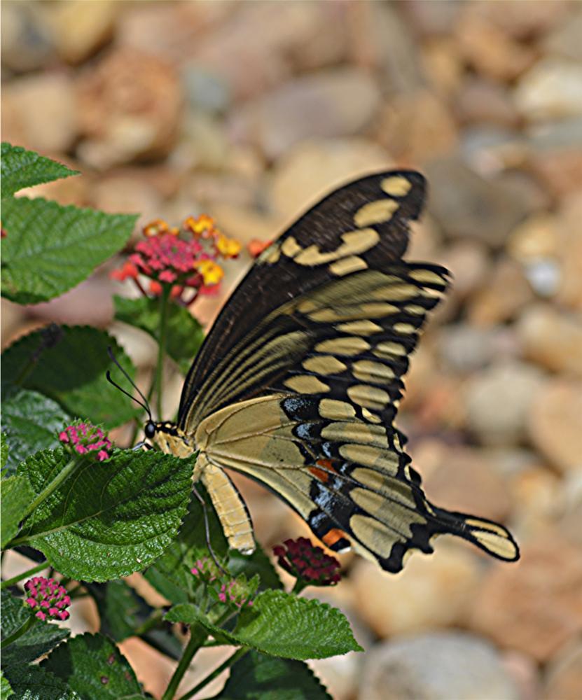 Photo in Animal #swallowtail #lantana #butterfly