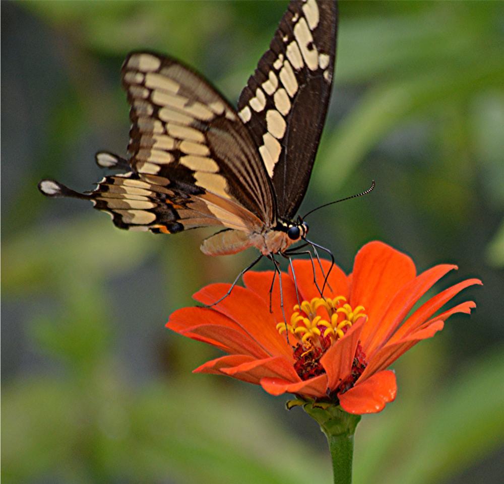 Photo in Macro #zinnia #swallowtail #butterfly