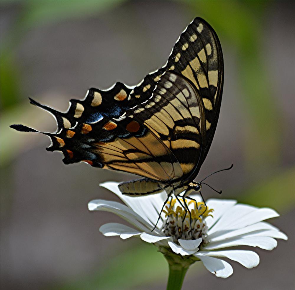 Photo in Nature #swalowtail #garden #butterfly