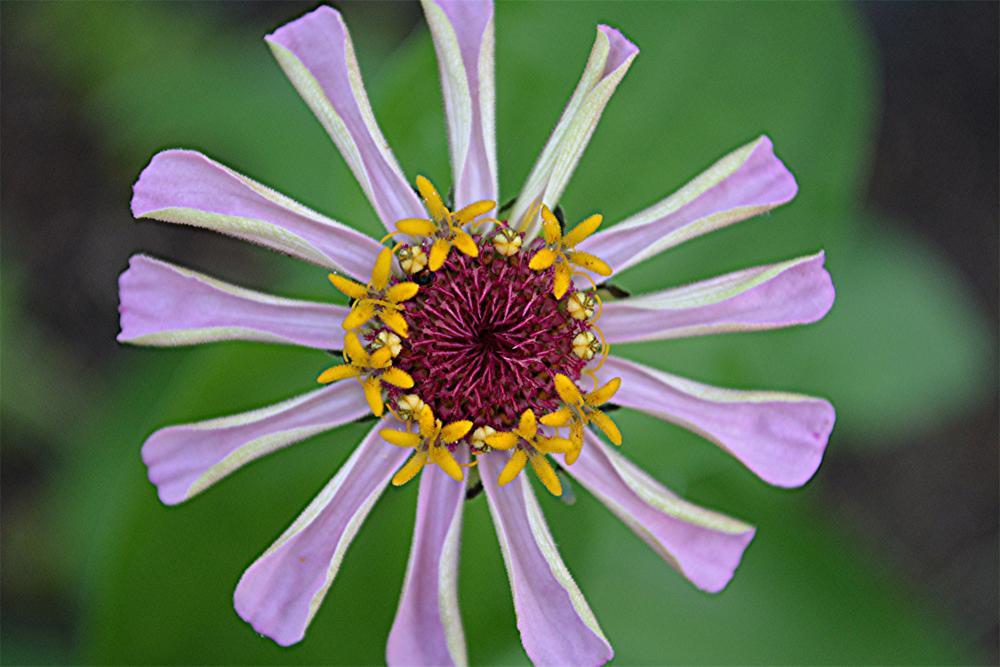 Photo in Nature #zinnia #flower #bloom