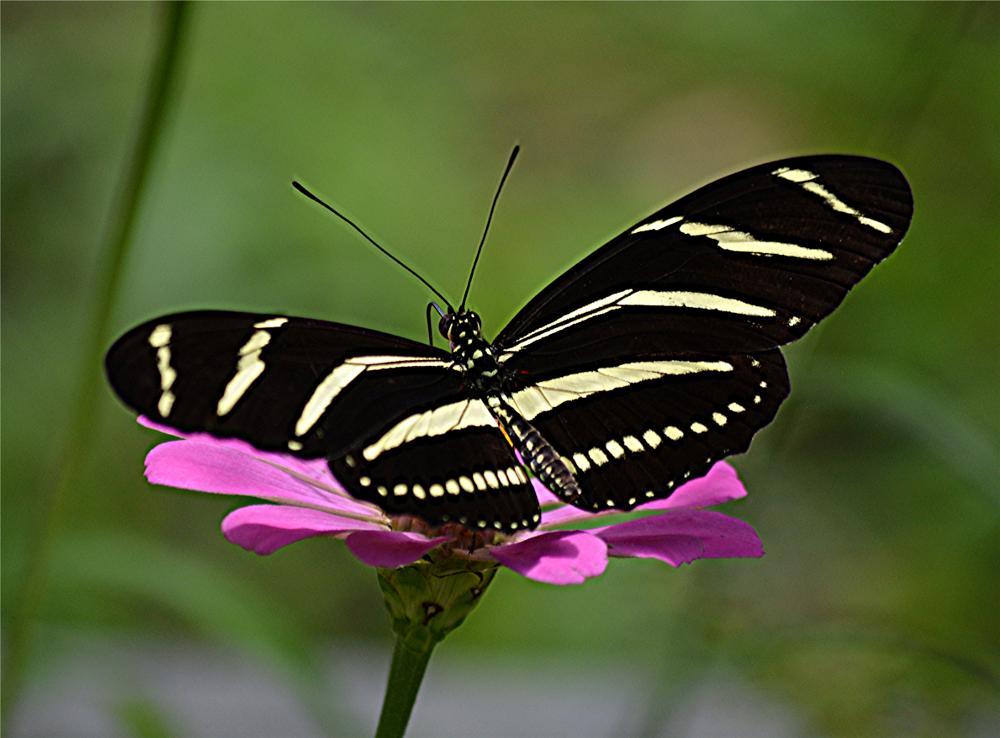 Photo in Random #presence #butterfly #long-wing #garden #stripes