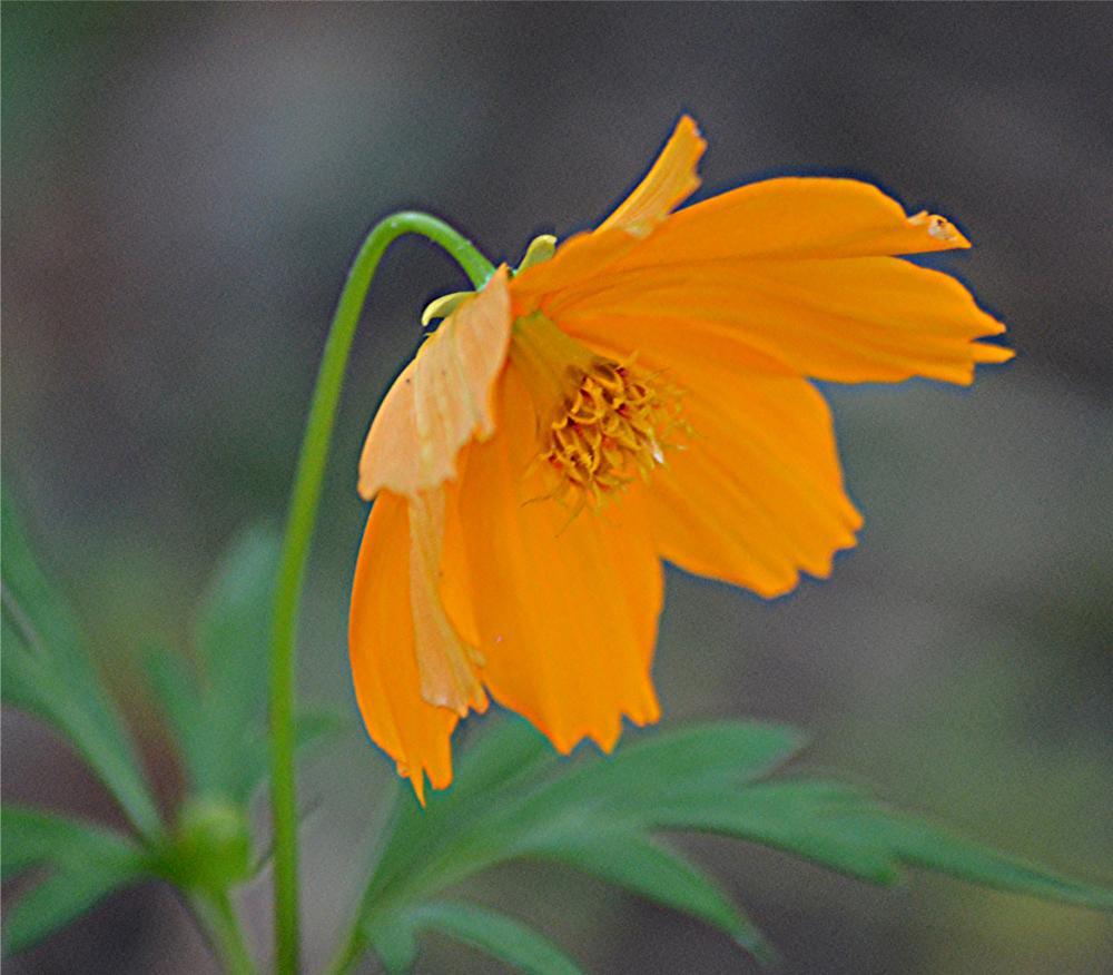 Photo in Nature #leaning #orange #wild #flower #green