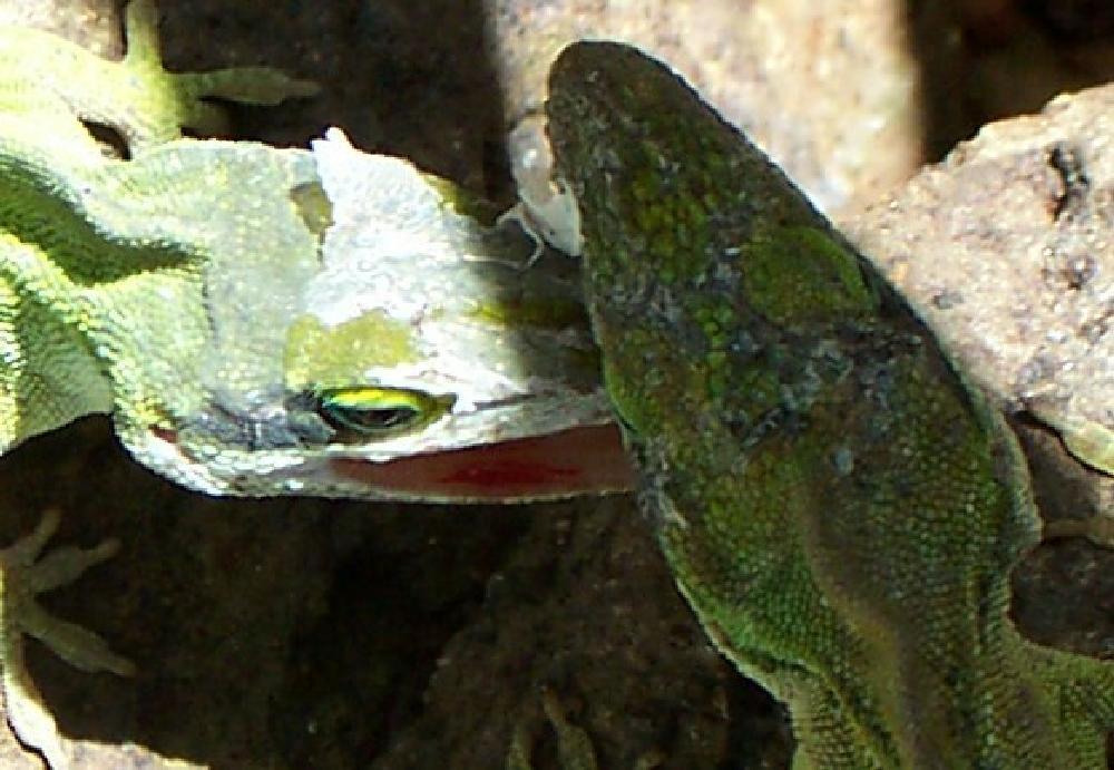 Photo in Random #lizards #green #combat #battle #stressed