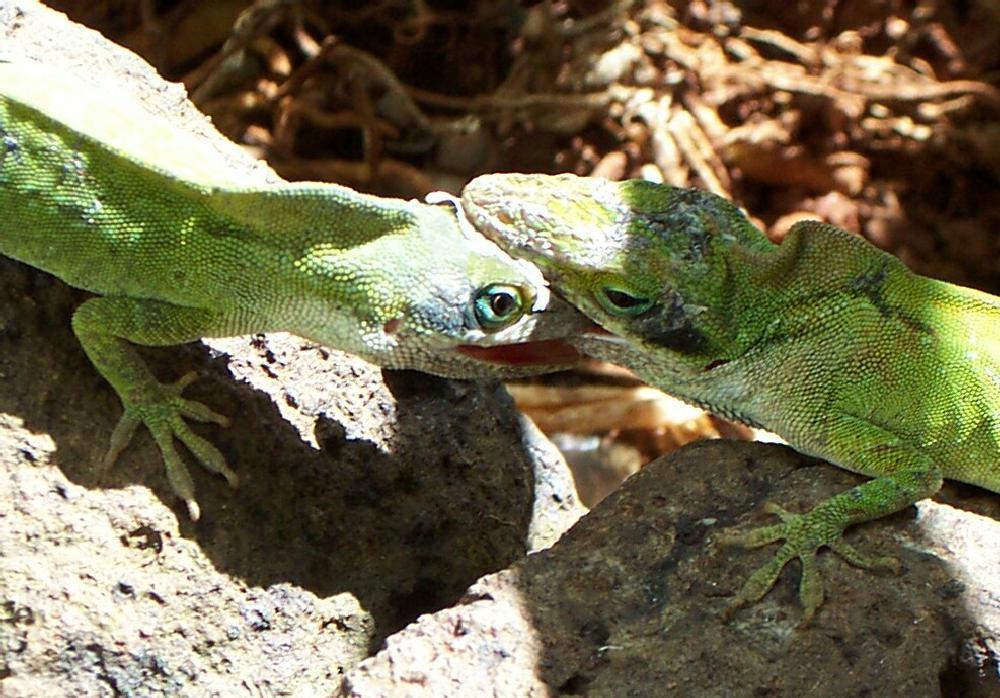 Photo in Random #lizards #green #battle #disagreement