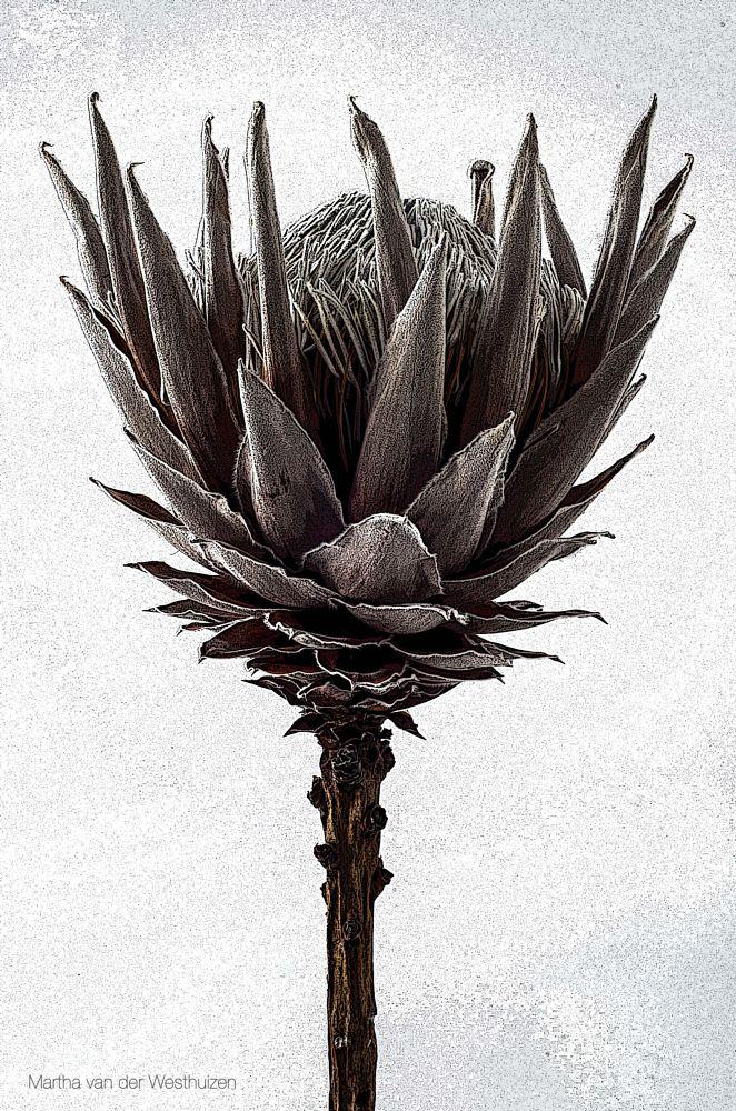 Photo in Fine Art #protea flower single monoch