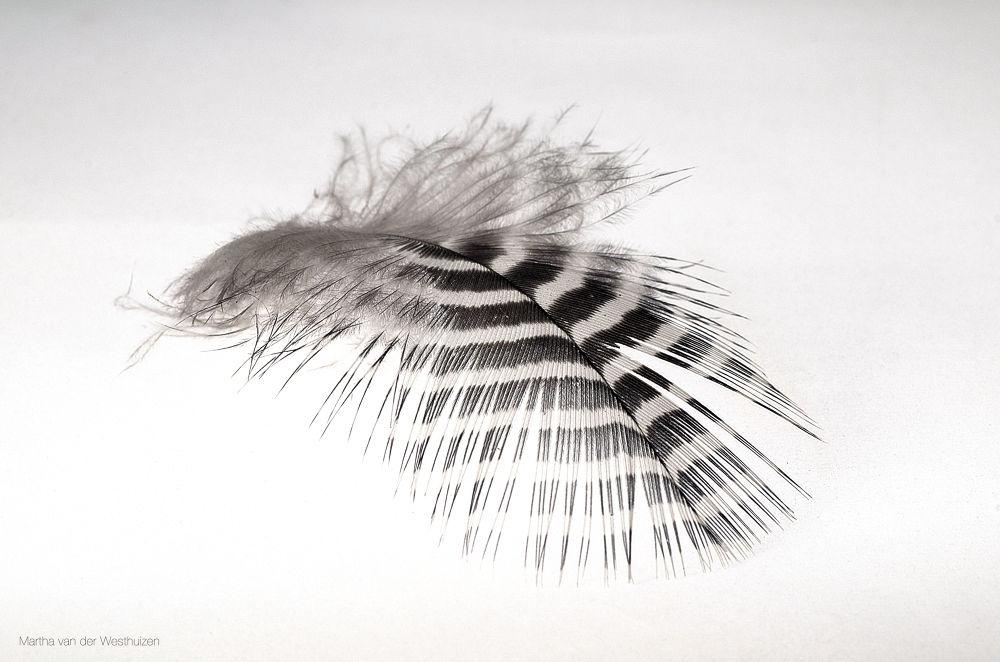 Photo in Black and White #feather #bird #single #stripes #pattern #black & white #white background