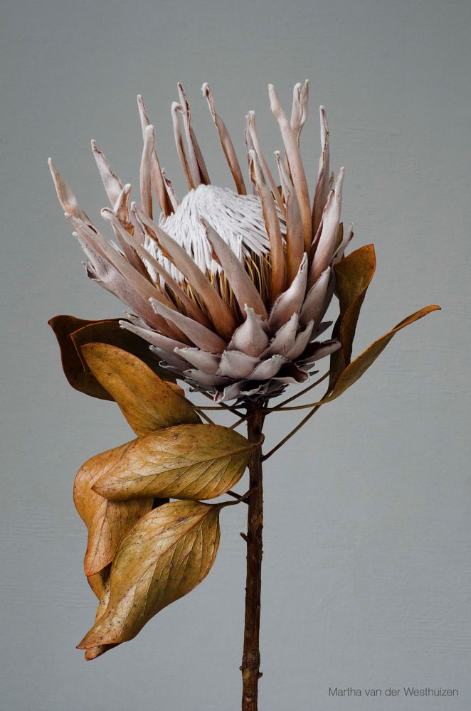 Photo in Nature #protea #flower #wild flower #dried #preserved