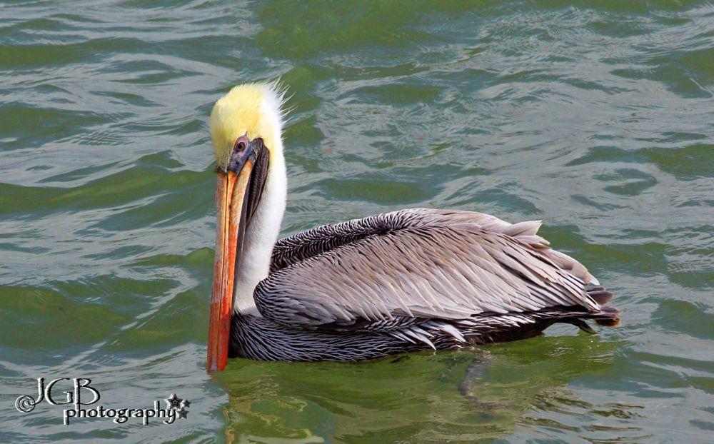 Photo in Nature #pelican #bird #animalia #sea #beach