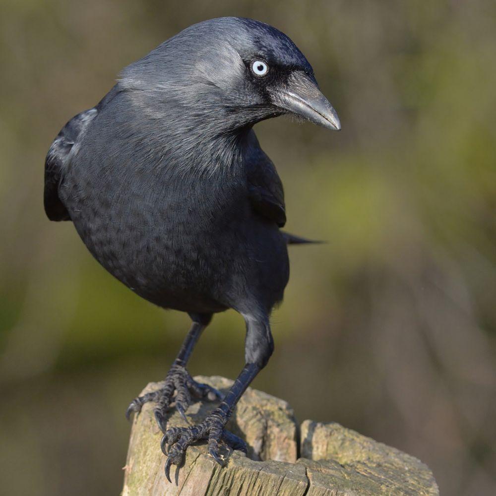 Photo in Animal #jackdaw #wild bird #nikon d7000
