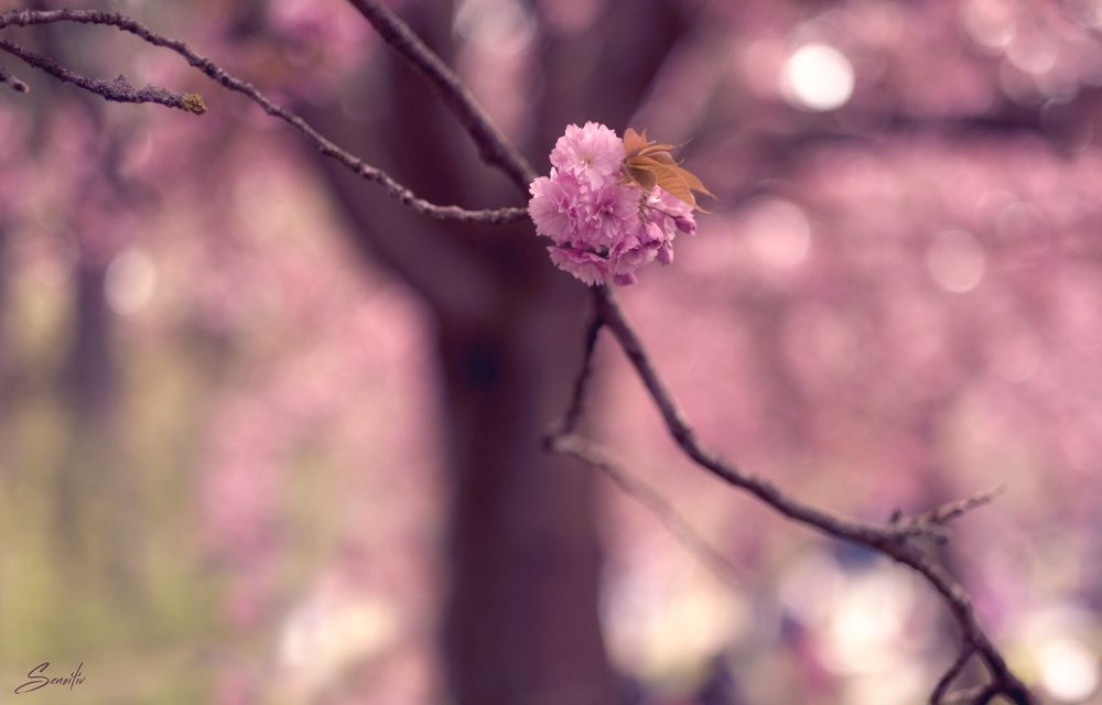 Photo in Nature #fleurs #blossom #bokeh #pink #cerisier #cherry #sakura #hanami