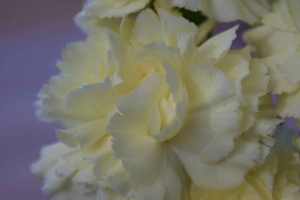 Photo in Macro #macro #flower #carnation #color #ivory #plant #garden #nature