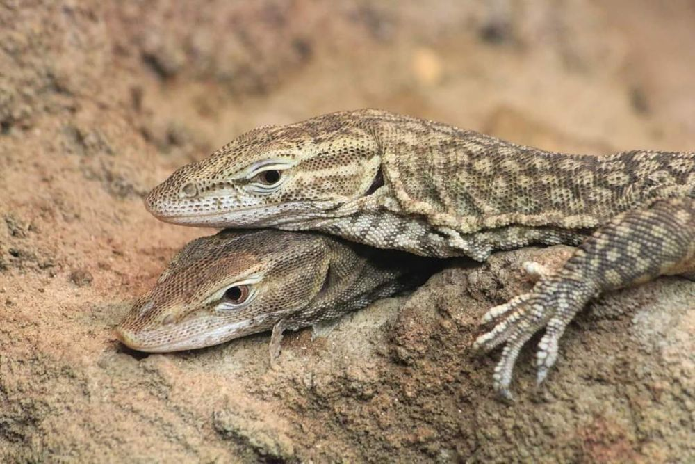 Photo in Animal #animal #lizard #zoo #reptile #animals #two #friends #colors #close up #beautiful #no people