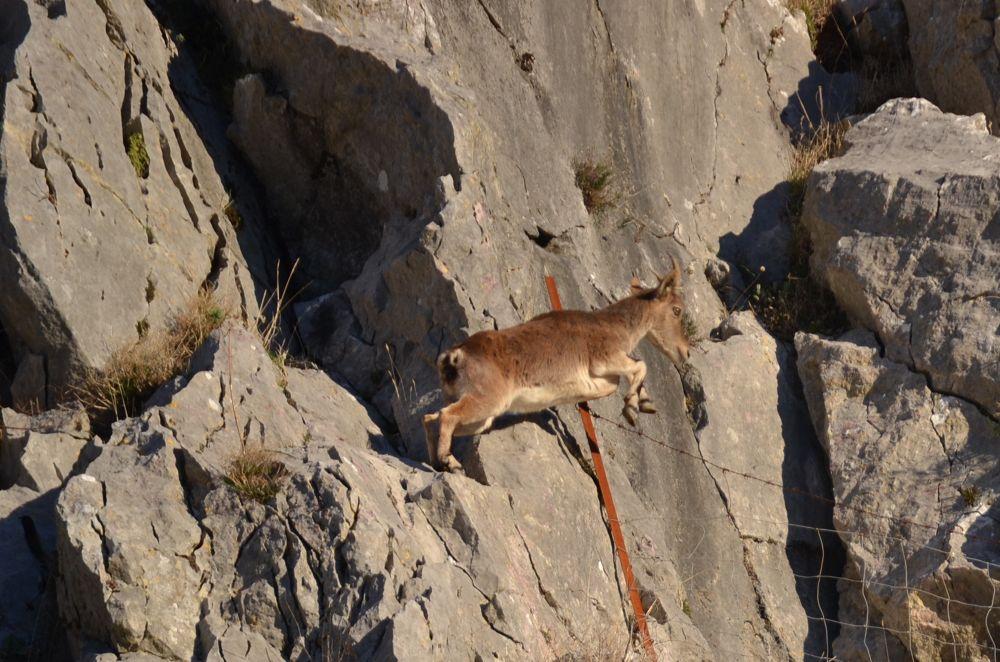 Photo in Animal #cabra montes #salto
