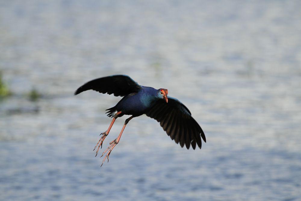 Photo in Animal #bird in flight #animal #telephoto #landing
