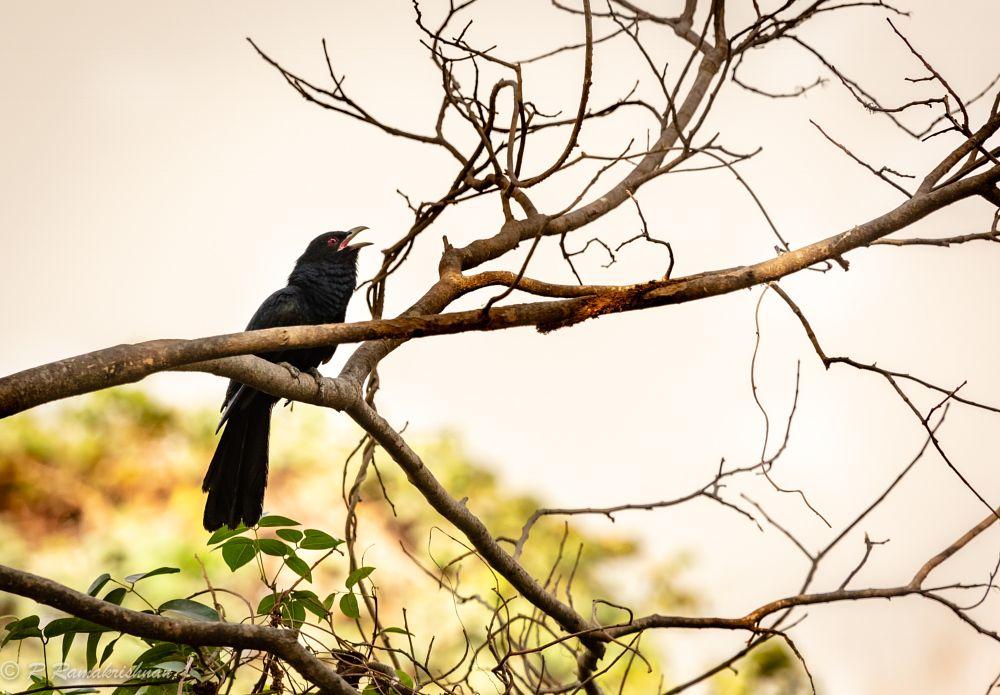 Photo in Animal #cuckoo #bird #animal #wildlife #nature