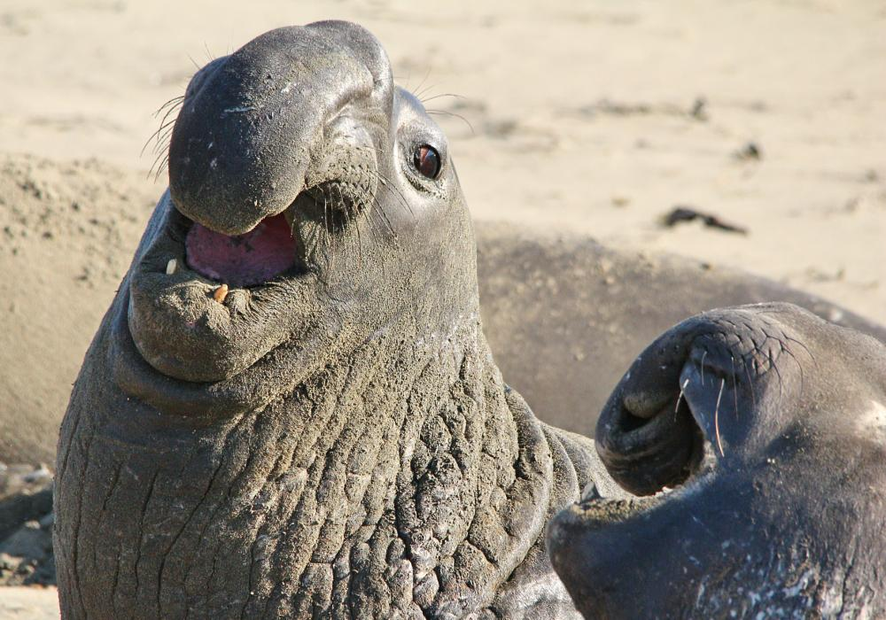Photo in Animal #animal #mammal #sea #elephant #seaelephant #california #beach #coast #ugly #fight #show #off #sigma #canon #usa #pacific