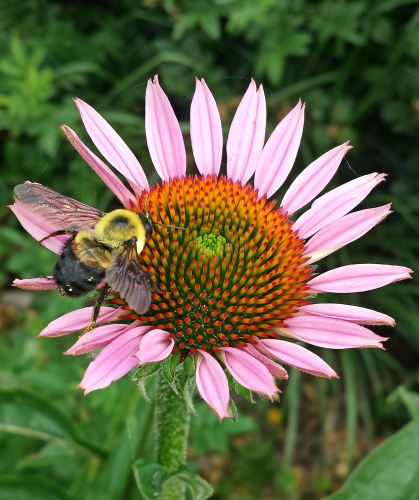 Photo in Nature #bumblebee #android #google #sexy