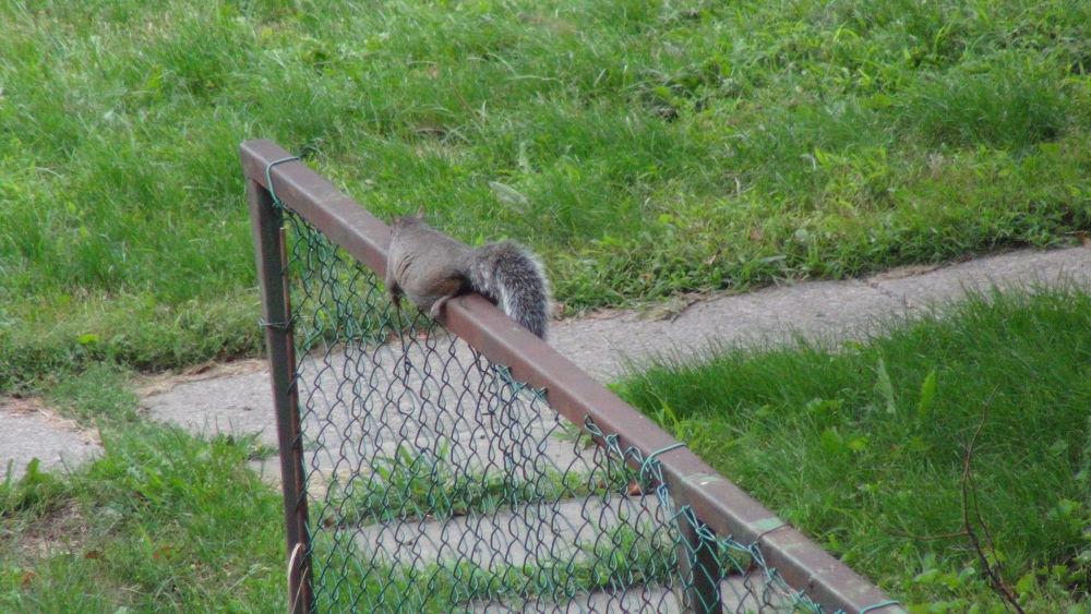 Photo in Animal #canada #squirrel #fence #argh #hanginon #life