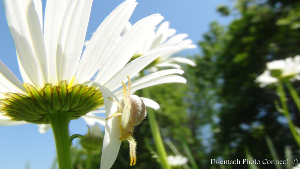 Photo in Animal #spidy #blue #yeller #spider #daisy