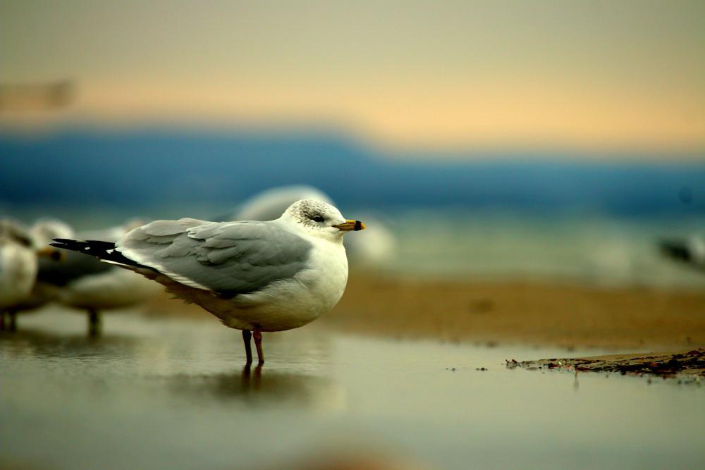 Photo in Animal #bird #animal #wildlife #wild #gull #birding #beach #lakeside #seagull