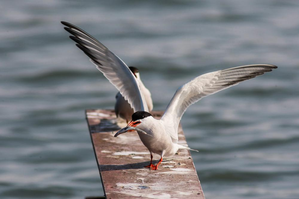 Photo in Animal #zoom #tern #bird #catch #caspiantern #wildlife #wild #nature