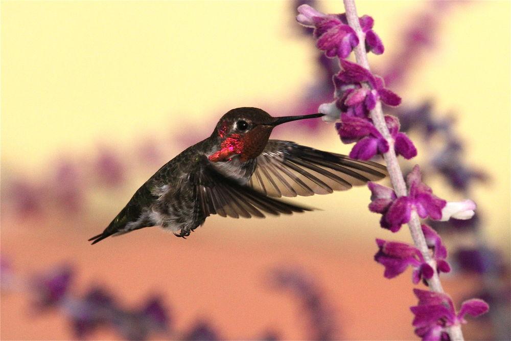 Photo in Random #hummers #hummingbirds #birds in flight #hummingbirds in flight