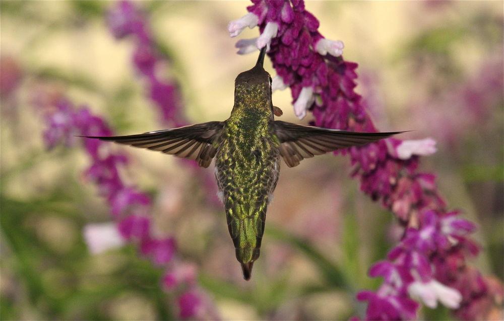 Photo in Random #hummers #hummingbirds #birds in flight #hummingbirds in flight #annas hummingbird