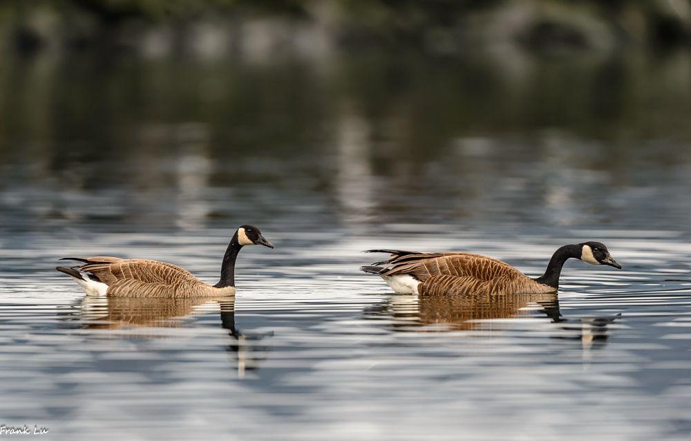 Photo in Animal #canada #goose #bird #nature