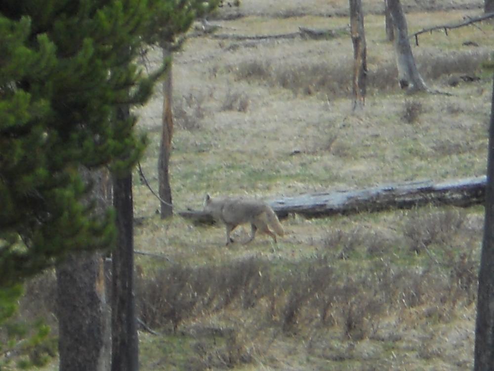 Photo in Animal #gray wolf #animal wildlife nature park