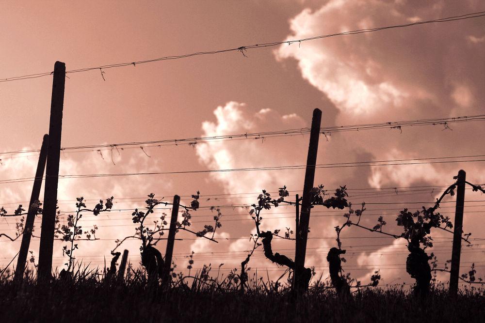 Photo in Nature #wineyard