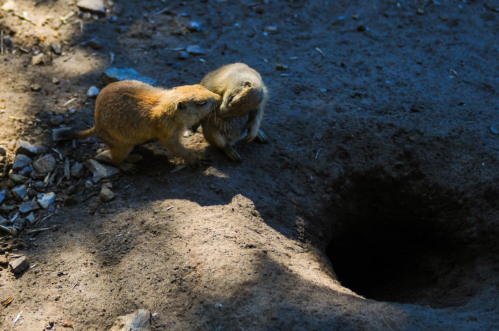 Photo in Animal #prairie dog #prairie dogs #kissing #tender moment #exchanging #food
