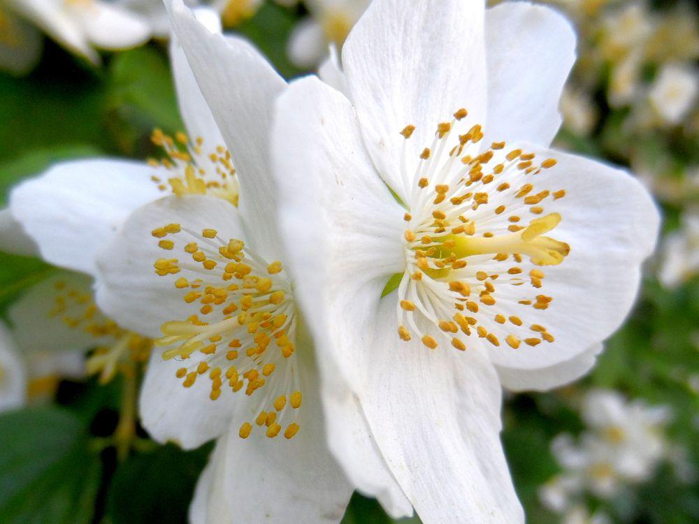 Photo in Macro #jasmine #warsaw #white #flower #macro