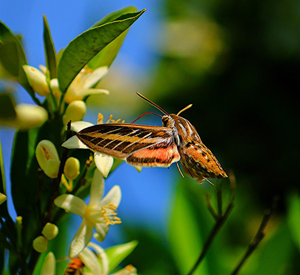 Photo in Animal #moth #insect #flying #bug #feeding #giantmoth #nature #wings #flight #blooms #leaves
