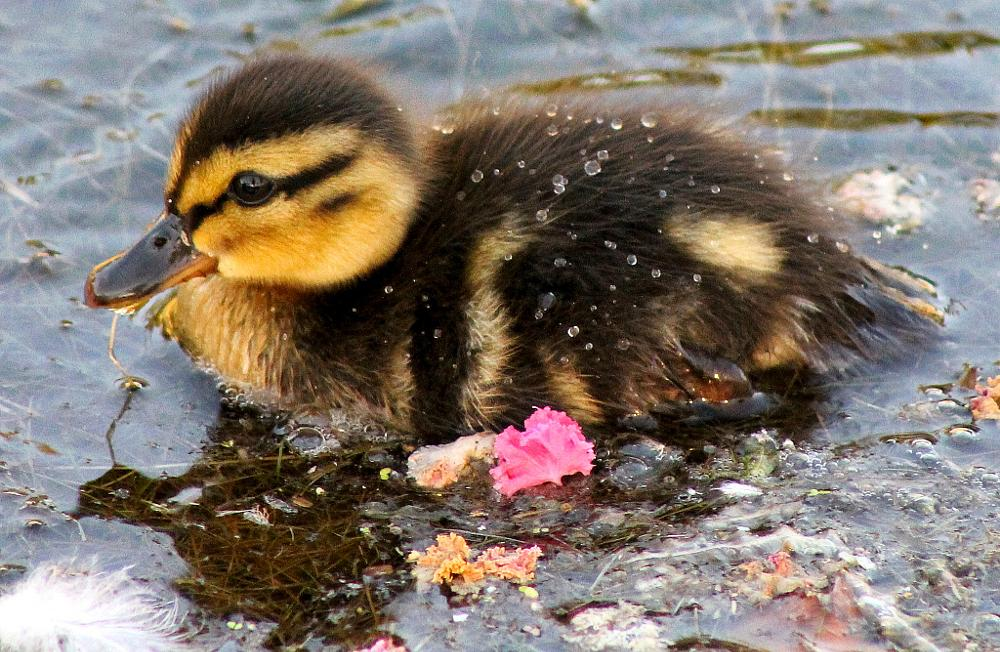 Photo in Animal #mallard #feeding #little #droplets #water #pink #waterfowl #nature #waterways #duckling #cute #baby #downy #drops