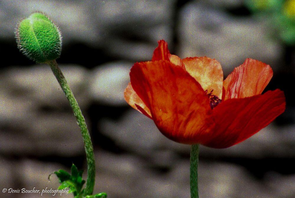 Photo in Nature #canada #fleurs #pierre #quebec