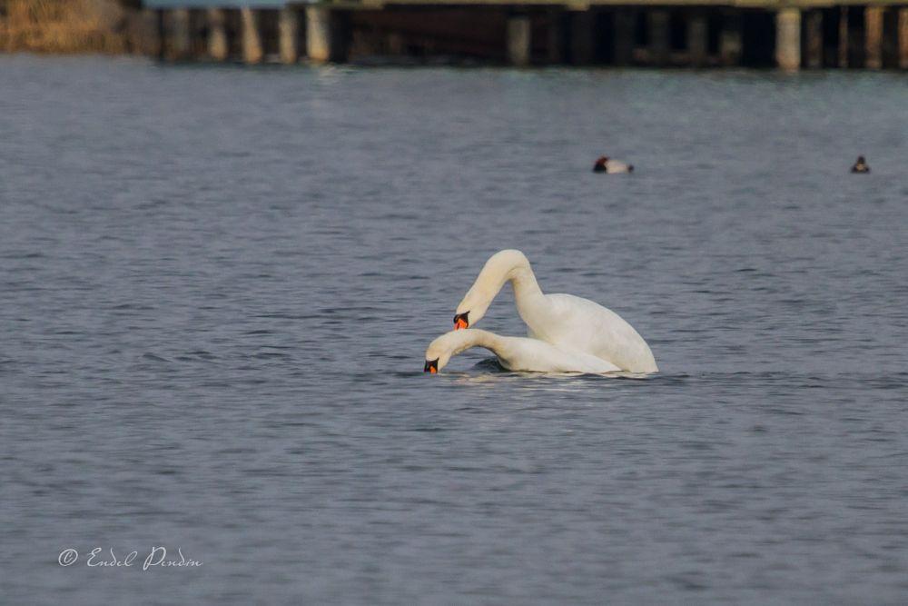 Photo in Animal #birds #swan #mate #nature #wildlife #luiged paaritumas