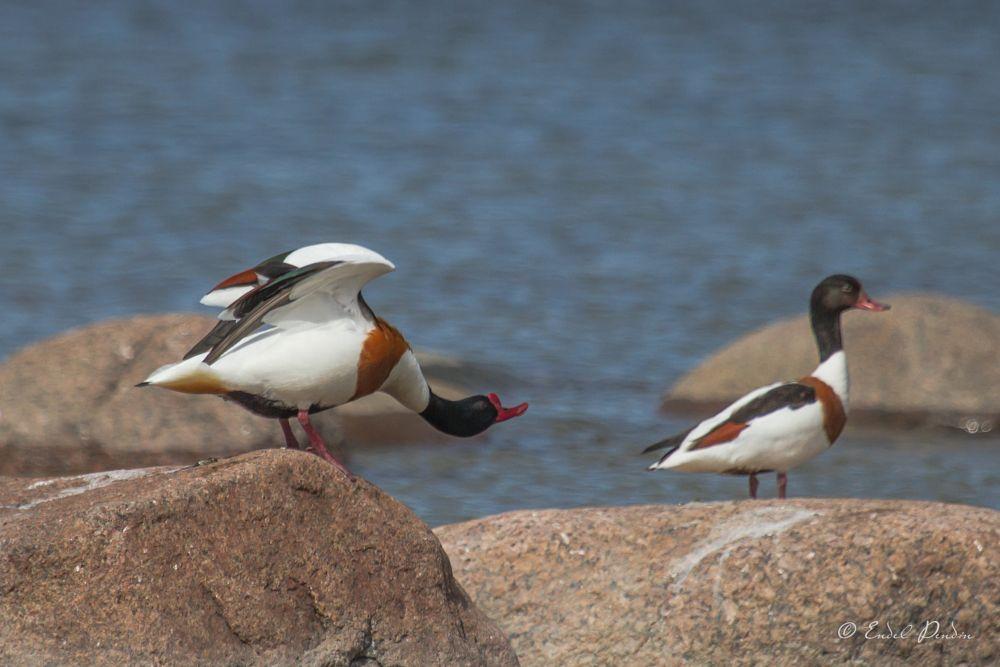 Photo in Animal #birds #shelduck #wildlife #ristpart