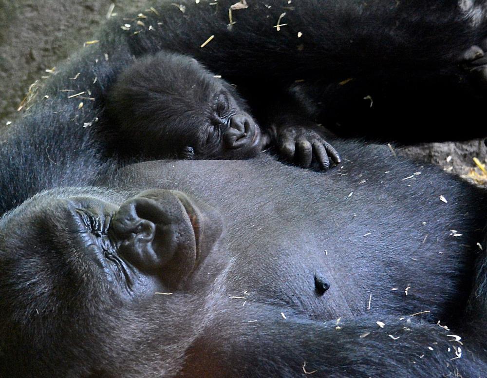Photo in Nature #gorilla #mammals #animals