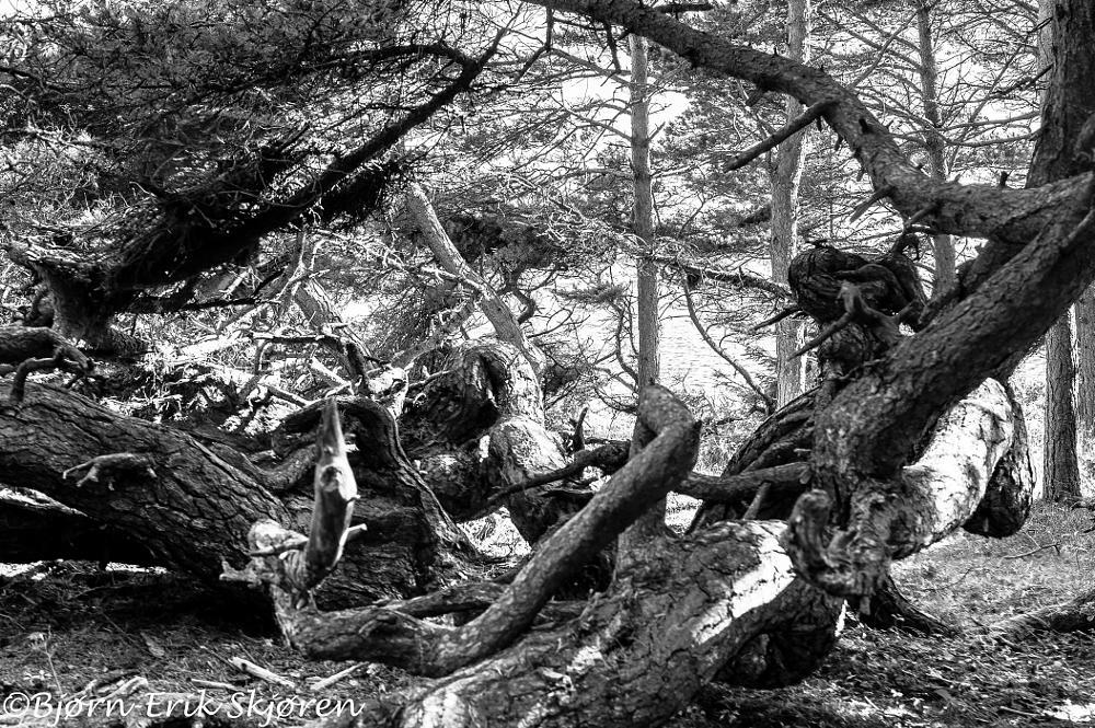 Photo in Landscape #pine #broken #ocean #salt #sand #winter storms #hdr #hdri