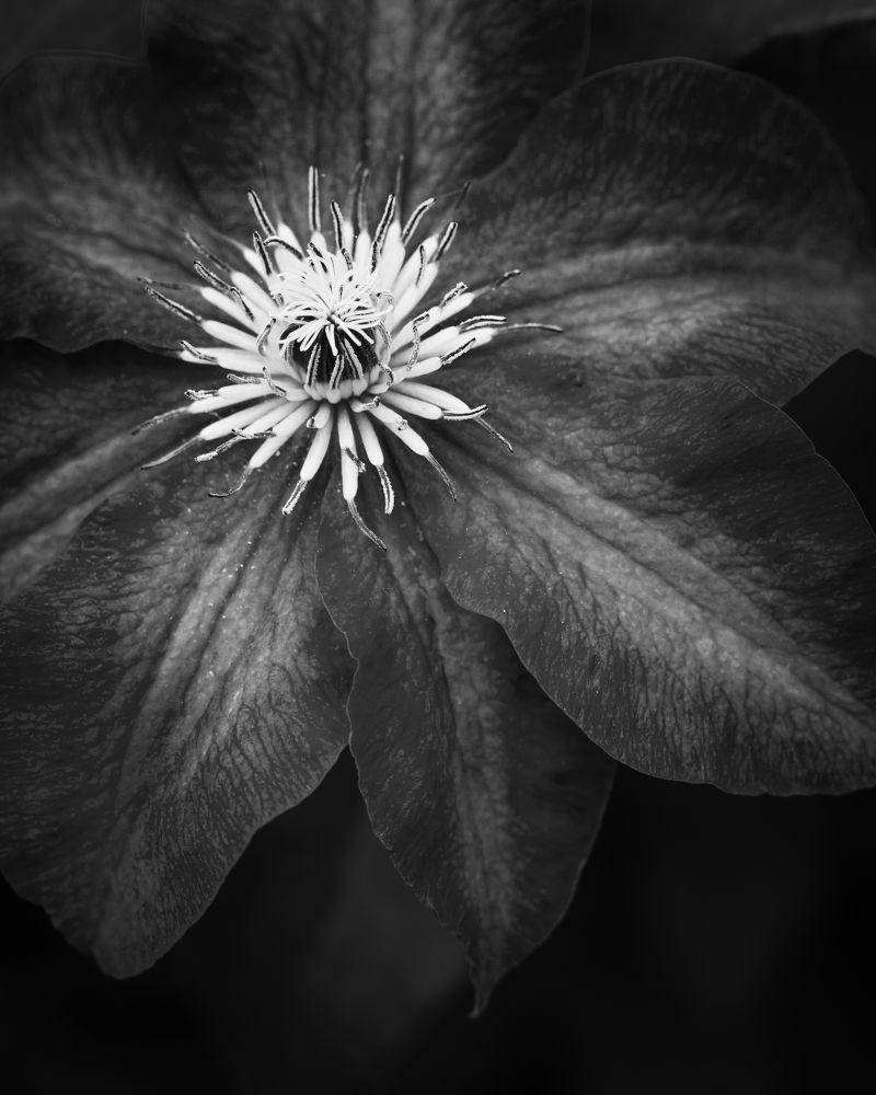 Photo in Black and White #bw #black and white #black #dark #flower #light