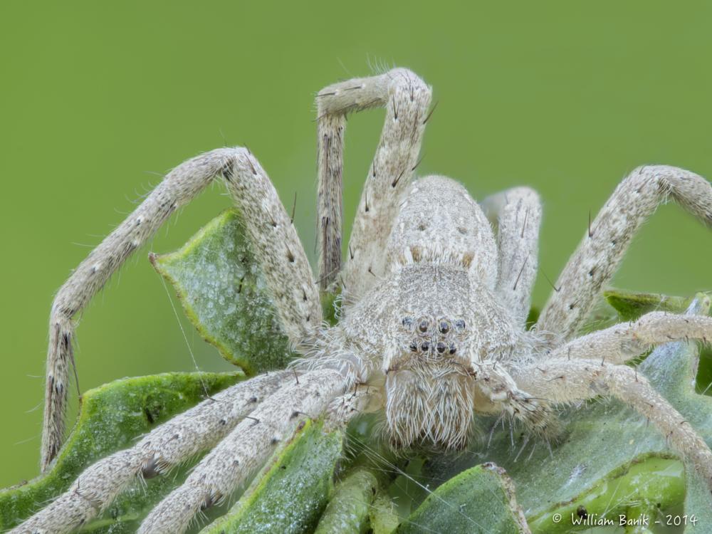 Photo in Macro #macro #spider #stack #insect #insect photography #nature #nature photography #olympus #em1 #zuiko 60mm macro #field stack #banik