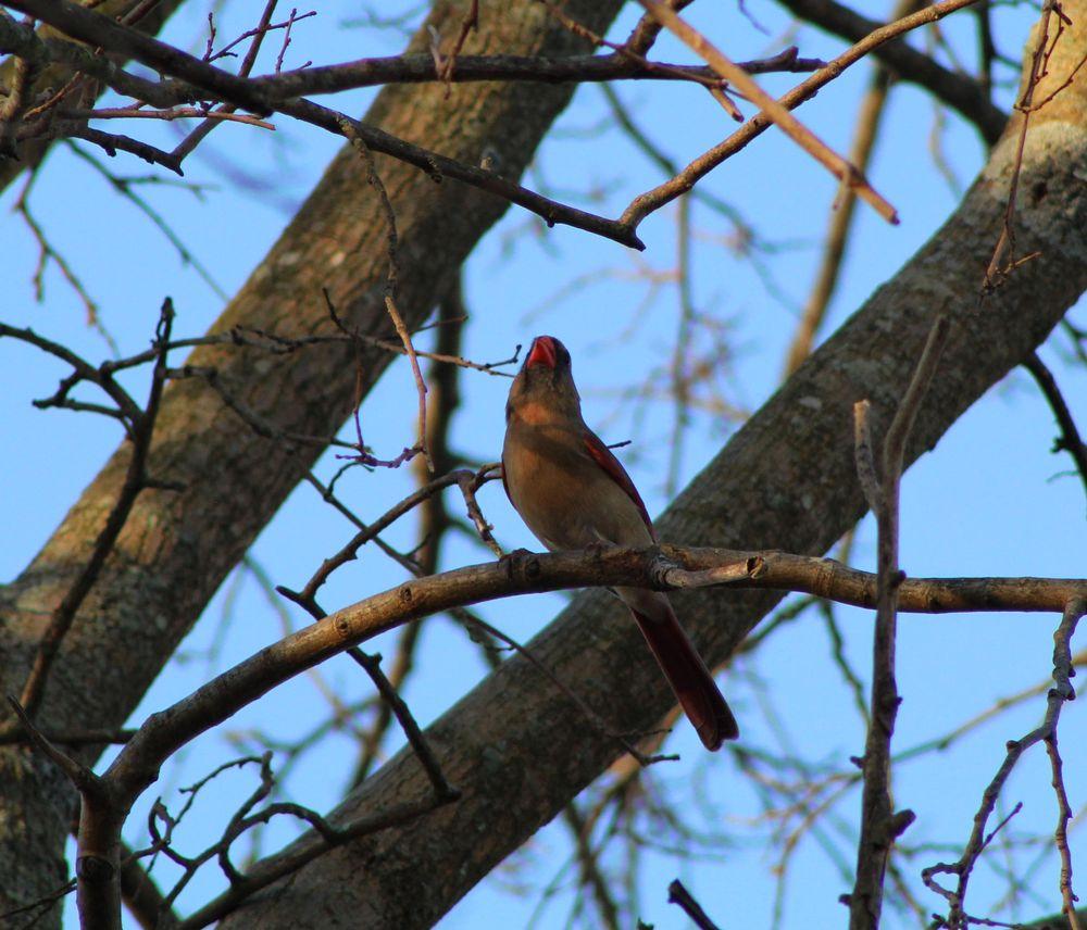 Photo in Animal #cardinal #female #bird #tree #autumn #perch #blue sky
