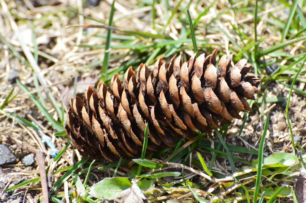 Photo in Random #pine cone #spring #sunny