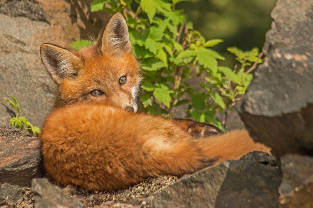 Photo in Animal #red fox #red fox kit #fox #nature #wildlife #outdoor #animal #mammal #algonquin #algonquin park #ontario #ontario parks #canada