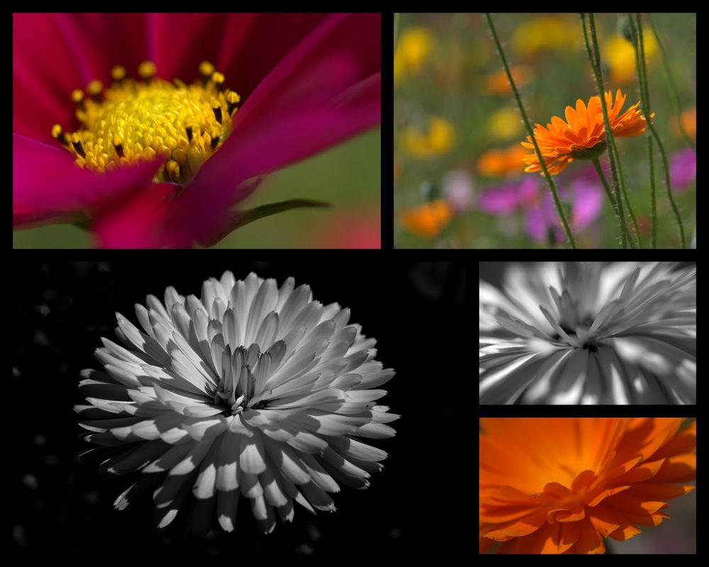 Photo in Random #flora #flower #macro flower #dahlia #poppy #amapola #b&w #orange #yellow