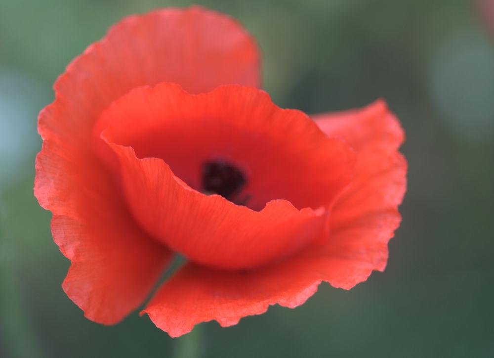 Photo in Nature #amapola #poppy #flower #red poppy #macro poppy #flora