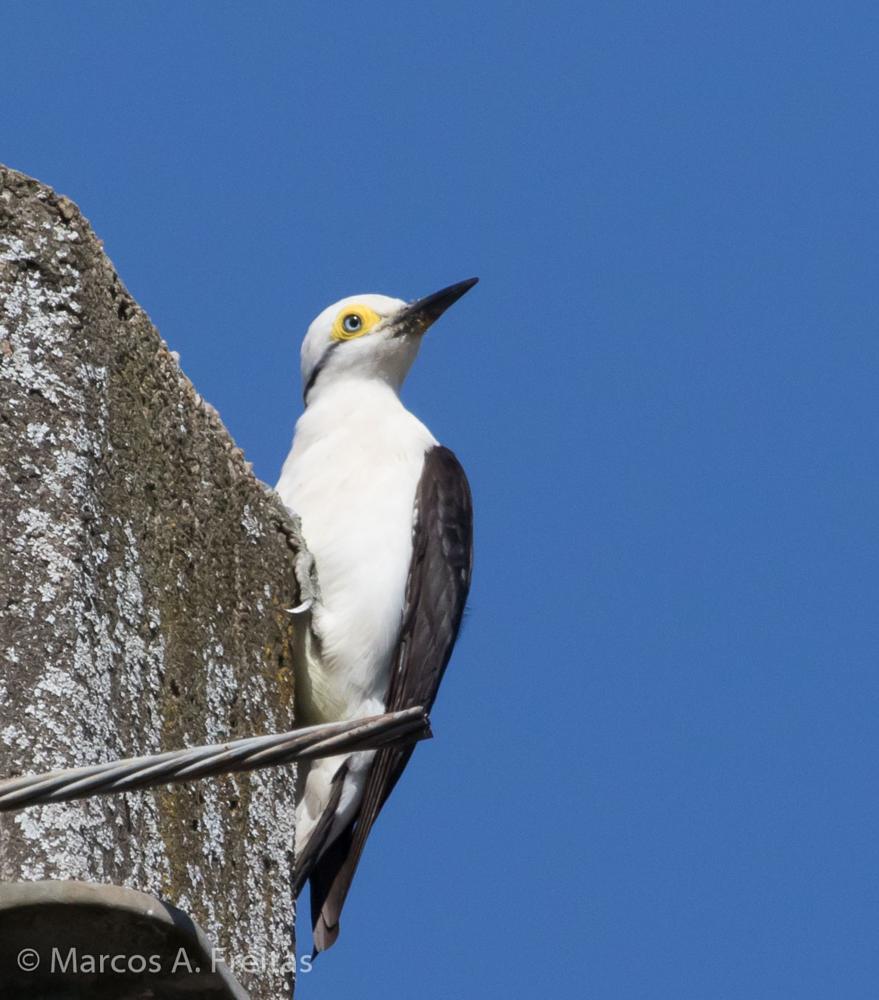 Photo in Animal #white woodpecker #melanerpes candidus #pica-pau-branco #bird #brazil #floresta de ipanema #nature #wild