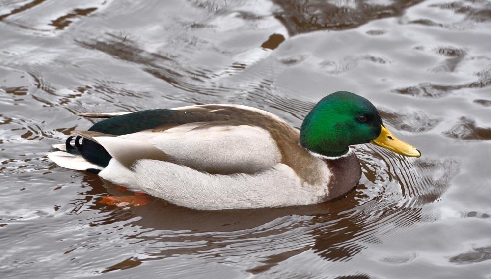 Photo in Animal #duck #animal #water #inverleith #edinburgh #scotland